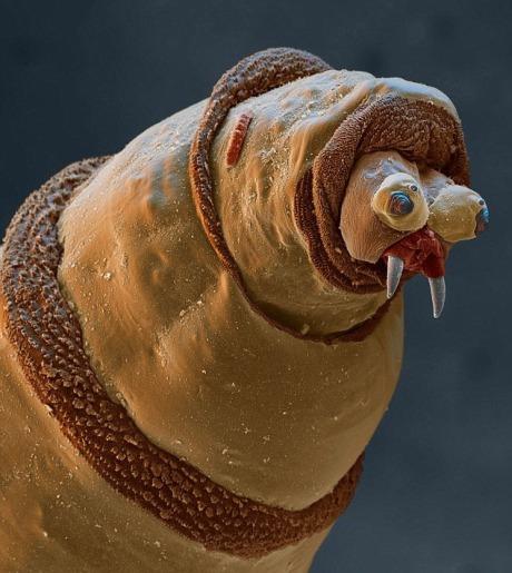 Larva lalat, mengerikan taringnya cukup besar untuk binatang seukuran dia