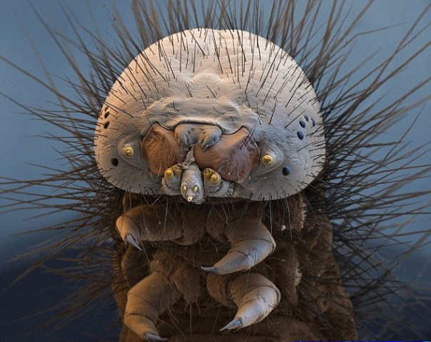 Seekor ngengat ulat processionary, ditemukan di bagian selatan dan tengah Eropa, ngengat ini dapat menyebabkan iritasi kulit dan asma